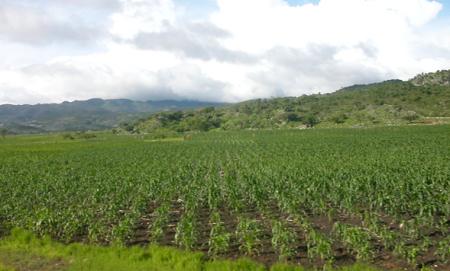 グアテマラの主食トルティージャの原料であるトウモロコシ畑です