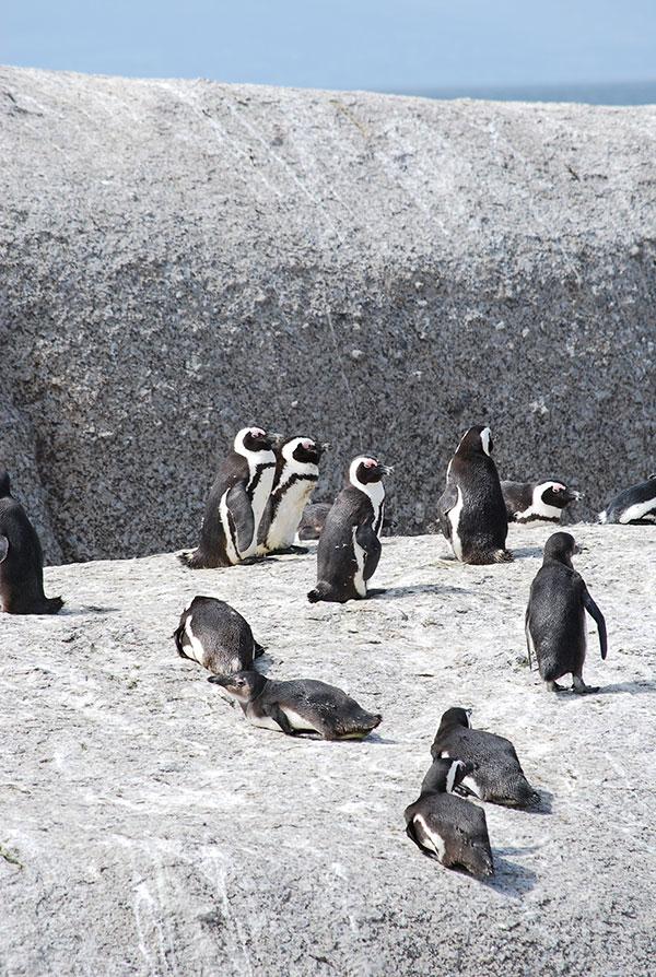 ケープタウンで出会えるペンギン